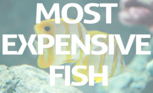 Worlds Top 10 Most Expensive Fish You Never Like To Ignore